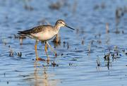 Greater yellowlegs are among the many migratory birds that use Sacramento Valley rice fields.