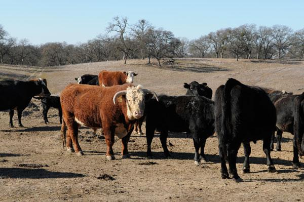 Higher beef and cattle prices stemming from drought conditions are expected to drive food prices higher for restaurant companies.