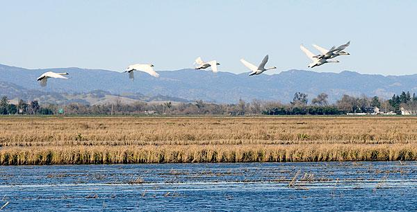 Tundra swans take off from the rice fields of the Rominger Bros. Farms in Winters.