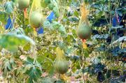 Watermelons are given extra support so they can grow vertically in a Syngenta greenhouse.