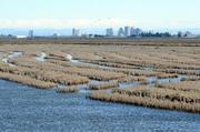 Some in Yolo County fear widening the Yolo Bypass and Fremont Weir could jeopardize agricultural land, like this rice field along the causeway.