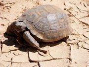 The Desert Tortoise.