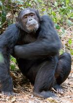 Gilead commits to not using chimps in drug research