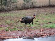 A wild turkey roams the Richmond Field Station, future home of the LBNL second campus.