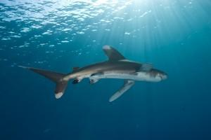 Proposed legislation would outlaw the sale, purchase and possession of shark fins in Texas.