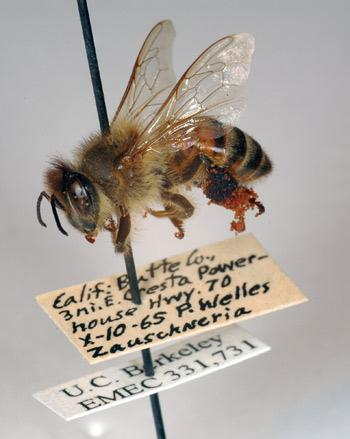 A 47-year-old bee from UC Berkeley's entomology museum with pollen grains still tangled in the brushes on its legs.