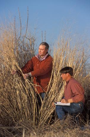 USDA researchers measuring Panicum virgatum, or switchgrass.