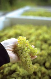 Hanzell Vineyards in Sonoma could have a good vintage this year, unlike many other growers who expect to suffer.