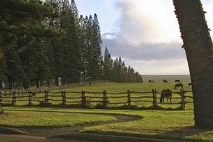 Horses graze in a pasture outside the Four Seasons Resort Lanai,