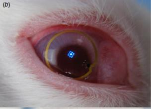 Researchers placed the contact lens display in the eye of a live rabbit (Journal of Micromechanics and Microengineering image)