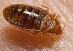 Bedbugs, Cincinnati, Chicago
