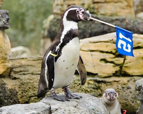 The Seattle Seahawks released this photo of a penguin fan at Woodland Park Zoo.