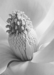 """Magnolia Blossom (Magnolia Blossom, Tower of Jewels),"" Imogen Cunningham, 1925 Seattle Art Museum"