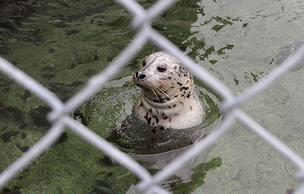Barney, a harbor seal, waits during feeding time at the Seattle Aquarium. The aquarium is working on plans to raise money to improve the seal exhibit, which would include removing the old chain-link fencing and replacing it with clear viewing windows.