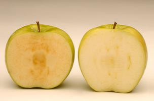 Cut Arctic apples (right), which are genetically modified, don't brown for weeks, but Washington growers are concerned that customers may reject them.