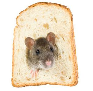 Rat in bread