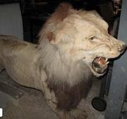 A stuffed lion that apparently belonged to Scott and Kim Rothstein awaits auction.