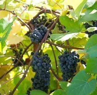 Rainy weather is hurting Yadkin Valley grape growers.