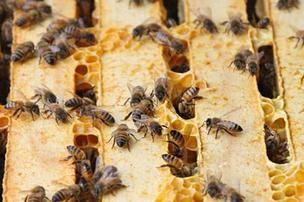 The U.S. Environmental Protection Agency said this week that Grandevo Bioinsecticide produced by Marrone Bio Innovations Inc. will not harm bees