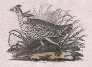 Detail of Audubon's running grouse (heath hen) vignette from a Fairman Draper Underwood & Co. sample sheet. (Eric P. Newman Numismatic Education Society)