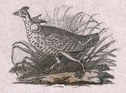 Detail of Audubon's running grouse (heath hen) vignette from a Fairman Draper Underwood & Co. sample sheet. (Eric P. Newman Numismatic Education Society)