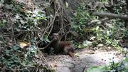 A mink in Forest Park.