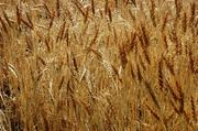 3. Winter wheat production increased from 12.6 million a bushel in 2010 to 34 million a bushel this year. At little over $5 a bushel, winter wheat's value of production was approximately $64.9 million in 2010.