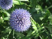 Globe thistle at the Strassenfest German Garden at the Missouri Botanical Garden. It will be included in the World Flora.