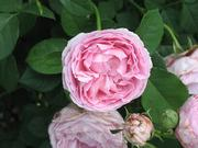 A shrub rose at the Kemper Fragrance Garden at the Missouri Botanical Garden, one of the plants that will be documented in the online World Flora.