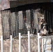 Dogs are held in a cage at a puppy mill in Missouri.