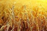Farmer sues Monsanto over Oregon's rogue wheat