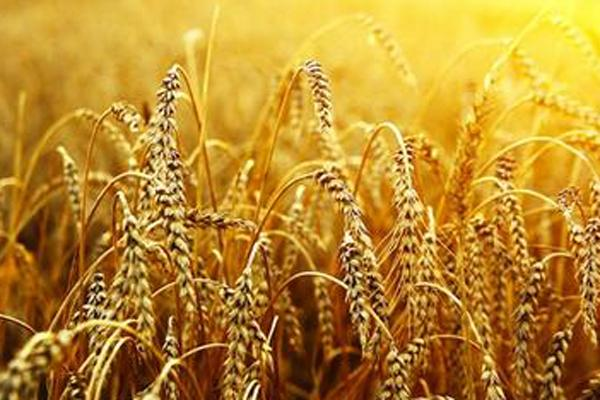 Japan is allowing the import of a wider range of wheat varieties.