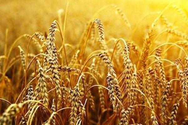 Monsanto: sabotage may be behind rogue Oregon wheat