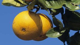 Florida citrus greening disease