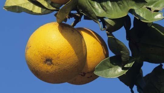 The greening bacteria destroys citrus fruit.