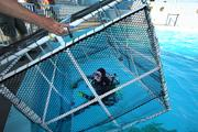 Linda Griffin, dive lead volunteer, waits in the dolphin tank as the cage is lowered over her. The cage idea is new and started being used three months ago. The dophins were a distraction to the divers while they were cleaning the tanks. The dolphins love to interact with the divers and this is an attempt to get more work done. There is still plenty of play going on in spite of the cage.