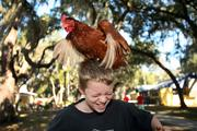 A camper brought his chicken and goats for the day for other campers to pet.