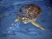 Clearwater Marine Aquarium's Bailey, a green sea turtle paralyzed from his abdomen down. He was caught in a fishing net and when the fishermen tried to release him, he was dropped on his back on the boat deck and paralyzed.