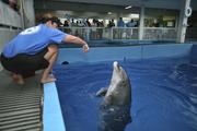 Clearwater Marine Aquarium's Kelly Martin, manager of marine mammals, trains Panama, who is deaf, during the dolphin presentation.