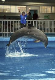 Clearwater Marine Aquarium's Kelly Martin, manager of marine mammals, trains Panama during the dolphin presentation.