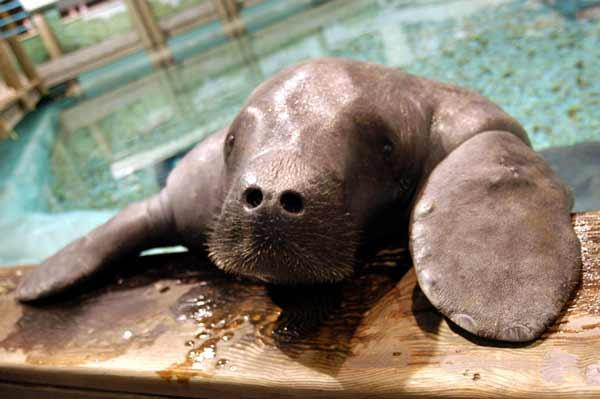 Snooty the manatee turns 65 this year.