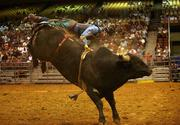 Naudy Exposito from Freedom, Okla., rides a bull named Alligator Chomp during the bull riding competition.