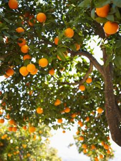 The Sunshine State's orange crop is in trouble this year.