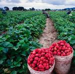 Plant City berry growers predict a better season