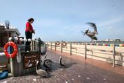A pelican on approach at the St. Petersburg Pier.