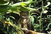 Great Horned Owl in the Wetlands exhibit.