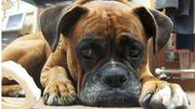 Esme, an American boxer, has been a regular feature at Mack and Mack in downtown Greensboro for a decade. Robin Mack, the founder and president of the retailer, has several reasons for keeping her at the shop, including that dogs need to be with people and were never meant to be left alone while their owners are at work.