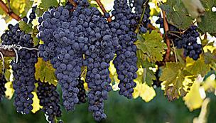 A new Kansas law allows Kansas wineries to use more grapes from external sources.