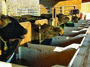 Cows eat through a system of calan gates, which limit the animal to a single feed bin and allow researchers to know exactly how much it consumes.