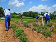 At the Upper Piedmont Research Station in Reidsville, field workers tend to a crop of echinacea as part of a project for a graduate student in horticulture at N.C. State.